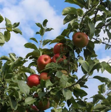 apple picking 1
